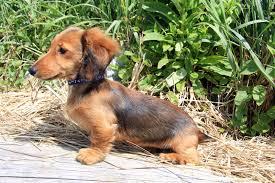 brown longhair dachshund puppy outside