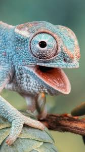 Chameleon Phone Wallpapers - Top Free ...