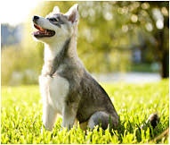 alaskan klee kai size alaskan klee kai dog breed facts and personality traits hills pet
