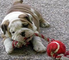 english bulldog puppies picture english bulldog puppies