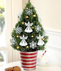 Christmas Tree in pot  the festive decor and beautiful addition to the  garden. Potted Plants