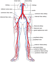 Leg Vein Chart Illustrations Of The Blood Vessels Cleveland Clinic