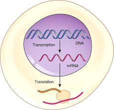 Venn Diagram Of Transcription And Translation Dna Translation Diagram Cashewapp Co
