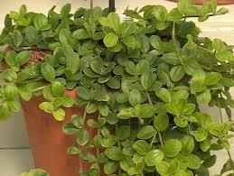 peperomia trifolia peperomia trifolia