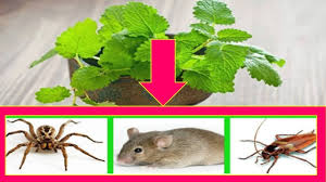 use this plant for keep your house free of spiders cockroaches and rats