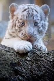 baby white tigers wallpaper.  Wallpaper Baby White Tigers Wallpapers  Intended Wallpaper E