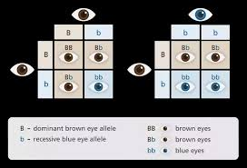 Eye Color Recessive Dominant Chart I Have A Brown Skin Black Hair And Quite Dark Brown Eyes