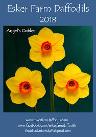 wele to esker farm daffodils