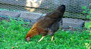 Ameraucana Chicken Color Chart 7 Chicken Breeds To Raise For Colorful Eggs Hobby Farms
