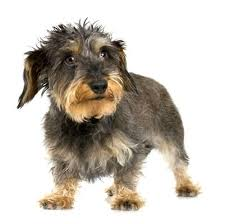 wire haired terrier mix.  Wire Beagle Wirehaired Terrier Mix Breed Pictures Photo Gallery For Wire Haired