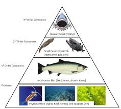 food web pyramid trophic pyramid and food web study of the dentrecasteaux