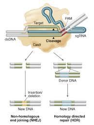 Genome Editing Genome Editing Applications Neb