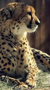 iphone cheetah wallpapers group 51