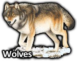 gray wolf drawing colored. Wonderful Colored Illustrations Of New And Old World Mammals To Gray Wolf Drawing Colored