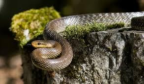Rat Snake Wikipedia