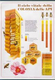 Honey Bee Life Cycle Chart 64x88cm Didactic Material And