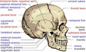 Pin By Bernadette On Skulls And Skeletons Facial Anatomy