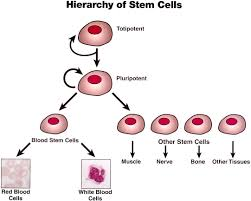 types of stem cells and their functions stem cells types of stem cells and their functions