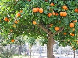 Which Foods Do Jamaicans Miss The Most When They Go Abroad To Live Jamaican Fruit Trees