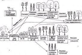 Реферат Динамика экосистем понятие сукцессии com  Рис 2 Схема сукцессионных смен в Средней России Промежуточные фазы сукцессии смешанных лесов по показаны Числа указывают срок формирования сообщества