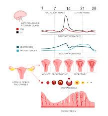 Menstrual Cycle Phases Chart The Menstrual Cycle