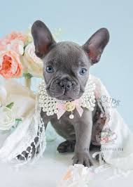 teacup blue french bulldog puppies. Brilliant Bulldog Teacups Puppies French Bulldog Female For Sale Intended Teacup Blue Y