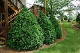 Green Mountain Boxwood Buxus X Green Mountain From