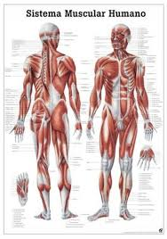 Anatomy Chart Muscular System The Human Muscular System Laminated Anatomy Chart Sistema Muscular Humano In Spanish