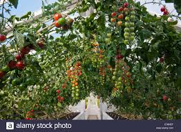English Kitchen Garden Arch Pergola Trained Cherry Tomato Varieties Summer Vine Vegetable