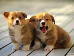 s dogs puppies corgi pets 1600x1200 wallpaper high quality