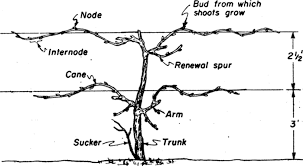 Grapes Pruning Techniques