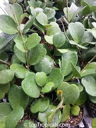 hoya kerrii sweetheart valentine hoya green leaves to see full size