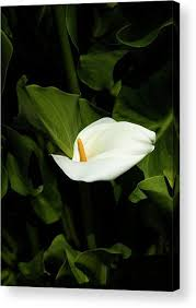 White Lily Acrylic Print by Dustin Woods. All acrylic prints are  professionally printed, packaged, and shipped within …   White lilies, Moon  garden, Acrylic prints