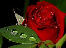 """Képtalálat a következőre: """"szép vörös rózsa kép"""""""