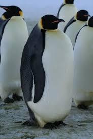 Antarctic Animals Adapting To The Cold Australian Antarctic Division