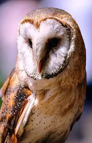 barn owl portrait writer mariecor writermariecor com