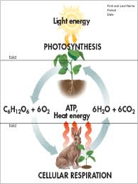 figure 9 photosynthesis cellular respiration