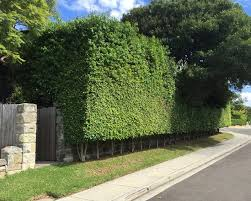 ficus benjamina mass planting for a very dense and high hedge