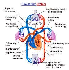 human circulatory system chart diagram charts diagrams  circulatory system diagram