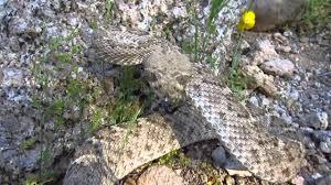 rattlesnake striking at camera. Wonderful Rattlesnake And Rattlesnake Striking At Camera A