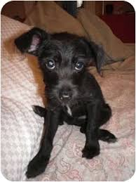 jack russell terrier mix black. Contemporary Mix Adopted On Jack Russell Terrier Mix Black S