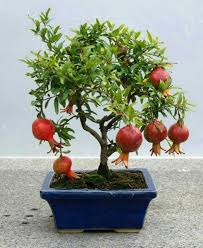 chili buy bonsai trees bonsai species pomegranate buy bonsai tree and maintain bonsai species bought bonsai tree