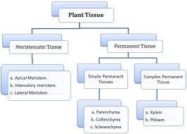 anatomy of flowering plants cl 11