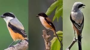 Ciri Ciri Burung Cendet Jantan dan Betina