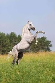 white horse rearing. Interesting Horse Stock Photo  White Horse Rearing In White Horse Rearing H