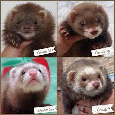 Ferret Color Chart Ferret Colours Uk