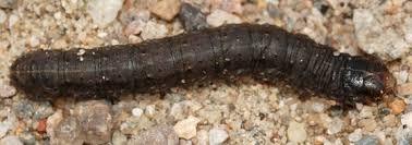 Black Cutworm Agrotis Ipsilon Bugguide Net