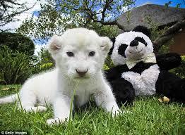 תוצאת תמונה עבור אריה לבן מידע