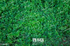 Dorothy Barton) small ferns green background, Stock Photo, Picture And Low  Budget Royalty Free Image. Pic. ESY-030078644 | agefotostock