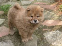 chow chow chow puppies for margate breed